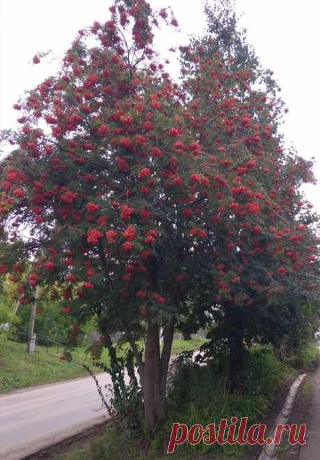 Осенние краски, осенние дни... Вновь гроздья рябины горят, как огни...
