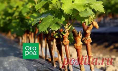 Как размножить виноград весной | В саду (Огород.ru)