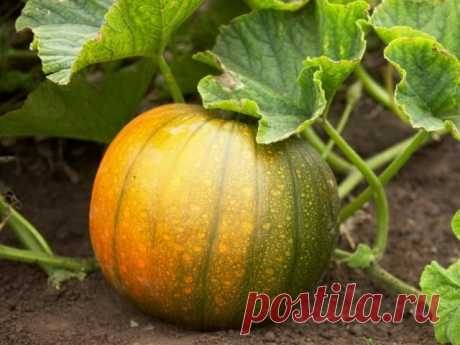 How to grow up a good harvest of pumpkin? Pumpkin – vegetable culture with the largest fruits known to our gardeners. The solar fruit called by tykviny arrived to Russia rather recently. As the homeland of pumpkin consider Mexico – the country, god...