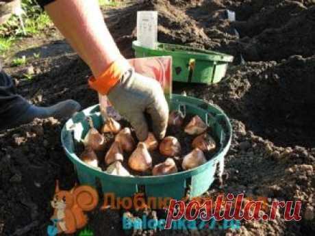 Когда выкапывать луковицы тюльпанов после цветения, сроки Зачем и как правильно хранить и сажать