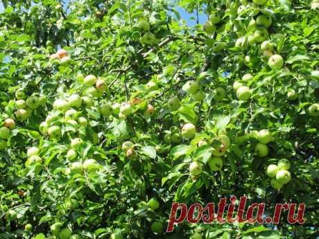 Мочевина первый мой помощник осенью, чтобы оздоровить яблоневый сад от вредителей   Дача ягодки цветочки   Яндекс Дзен