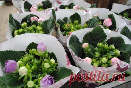 Красота из маленького семени — выращиваем глоксинию из семян Готовим семена Посевной материал, приобретенный в специализированных магазинах, в подготовке не нуждаются. Размер семян глоксинии очень маленький. Собирать их самостоятельно с цветков следует очень ак...