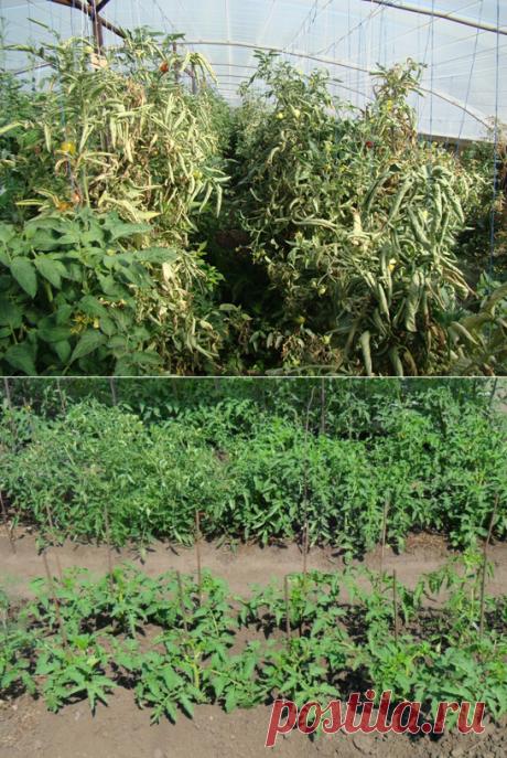 Причины появления белой мякоти у помидоров и перца. Столбур, или фитоплазмоз. — 6 соток