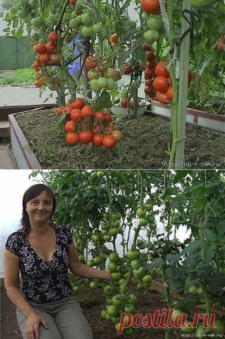 как вырастить урожайный помидорный куст.