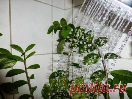 Горячий душ для комнатных растений Как устроить горячий душ для комнатных растений, чтобы предотвратить болезни и вернуть им цветущий вид.