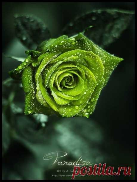 """Прекрасная серия фотографий """"Розы"""" Фотограф Lily A. Seidel"""