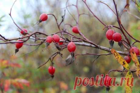 Осень, пора собирать шиповник | Дары природы.су | Яндекс Дзен