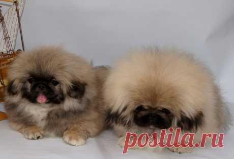 питомник WILFREDO мои щенки на продажу.