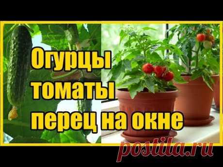 ТЕХНОЛОГИЯ ВЫРАЩИВАНИЯ ОГУРЦОВ, ТОМАТОВ, ПЕРЦА ЗИМОЙ НА ОКНЕ ( ЧАСТЬ 1) - YouTube
