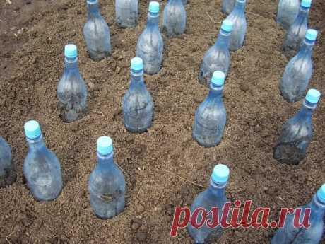 Пластиковые бутылки по всему огороду? Зачем это?