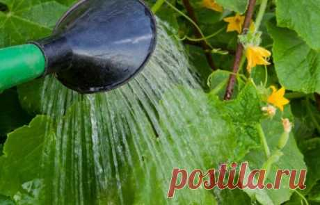 Нашатырный спирт — идеальное средство для получения богатого урожая огурцов