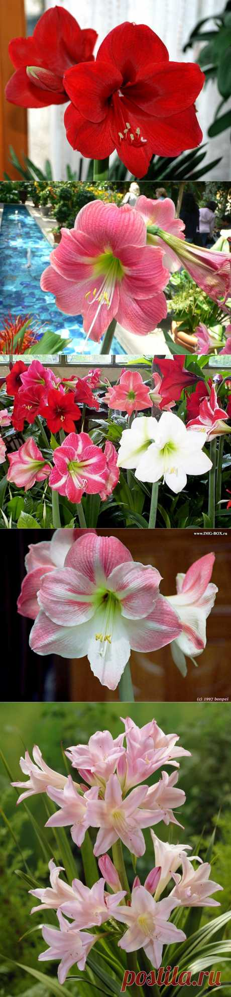 Hippeastrum. Care of flowers Hippeastrums, houseplant Hippeastrum, reproduction, watering, leaving. Flower Hippeastrum cultivation.