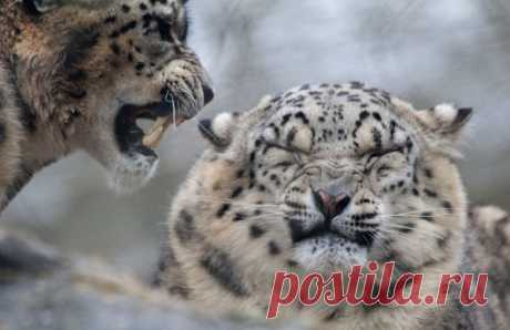 Интересные факты о самой таинственной дикой кошке / Научный хит
