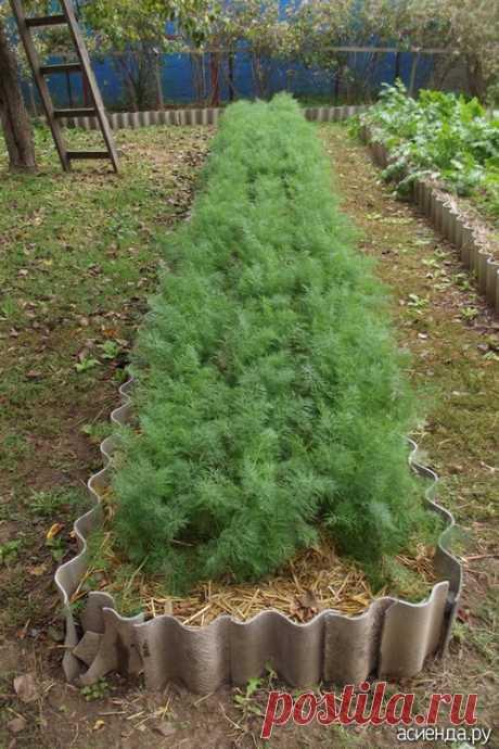 Как я выращиваю укроп