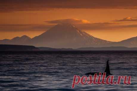 «Encontrar a la orca sobre el amanecer, y además con tal paisaje - la impresión inefable», – comparte el fotógrafo Ígor Ivanko. El álbum del autor: nat-geo.ru\/photo\/user\/287749