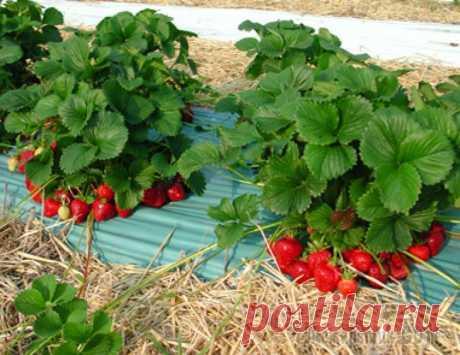Удобрение для клубники весной Подкормки для садовой земляники необходимы сразу после пробуждения, во время цветения, в период образования ягод, а также после сбора урожая, когда пойдет закладка почек будущего урожая.