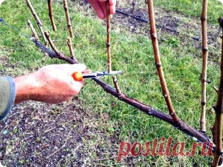 Как обрезать виноград осенью, чтобы был хороший урожай: правильная обрезка однолетних, двухлетних и старых кустов, схемы и видео для начинающих Способы, как правильно обрезать виноград осенью для хорошего урожая. Схемы и видео по обрезке однолетних, двухлетних, трехлетних и взрослых растений. Пошаговая инструкция для начинающих.
