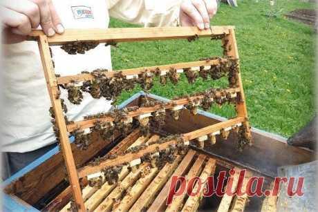 Выводим маток сами  С приходом весны перед большинством пчеловодов-любителей встает проблема приобретения маток: чем раньше - тем лучше. Вполне понятно, что ранних маток можно получить только из южных районов Северного Кавказа. Это Кисловодский или Майкопский пчелопитомники, специализирующиеся на разведении маток карпатской породы; КОСП («Красная Поляна») - на разведении кавказянок. Надо отметить, что Майкопский пчелопитомник сейчас осваивает производство маток краинской ...