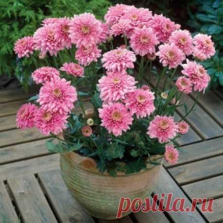 Como cuidar correctamente los crisantemos - MirTesen