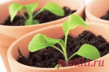 La mejor fertilización para el crecimiento de las plantas de la petunia. ¡La receta comprobada!   las flores en el apartamento y en la casa de campo – de Radzevsky Victoria   Yandeks Dzen