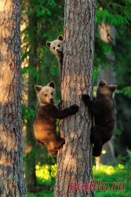 «Медвежата на дереве» — карточка пользователя tcuzminova в Яндекс.Коллекциях