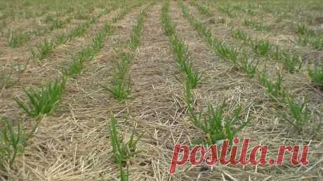Необычные способы выращивания чеснока Как можно вырастить чеснок, не копаясь в земле: 3 необычных способа