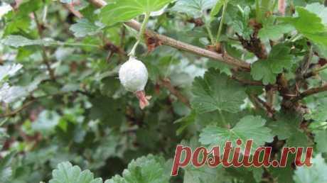 Как бороться с мучнистой росой на крыжовнике: советы садоводов