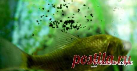 Диатомовые водоросли в аквариуме. Как избавиться от темного налета   Быково-медиа