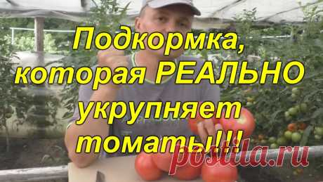Подкормка томатов, которая укрупняет плоды: реально работает!