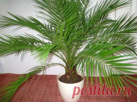 Комнатные пальмы: тропики у вас дома - статья от пользователя ОБИ Клуба