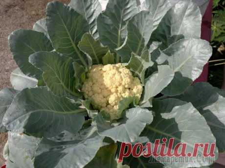 Выращиваем цветную капусту в открытом грунте правильно и получаем хороший урожай