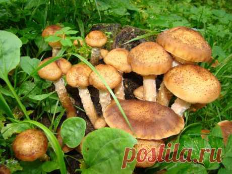 В лесах появились летние опята. Рассказываю подробно, как отличить их от галерины окаймлённой | грибной критик | Яндекс Дзен