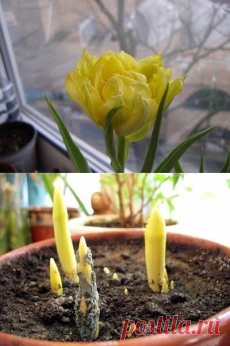 Комнатные тюльпаны – просто и красиво! | 6 соток