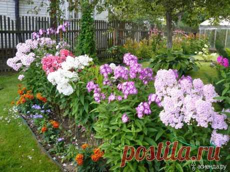 Что я делаю с флоксами в конце августа – всем садоводам рекомендую проводить такой уход | Добрый дачник | Яндекс Дзен