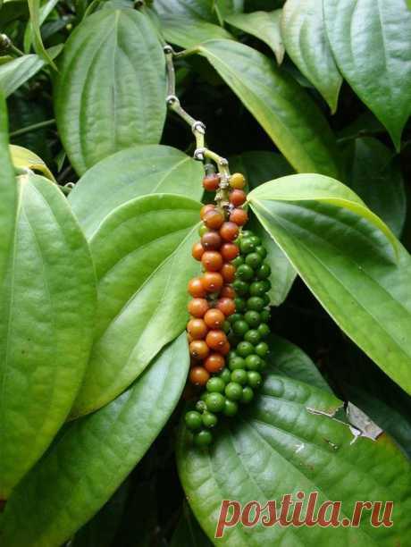 Растения, на которых растут известные продукты Растения, на которых растут известные продукты.Подавляющее большинство людей знает эти продукты питания уже в «конечном» виде — такими, какие они продаются в магазинах.Однако во время роста и созрева...