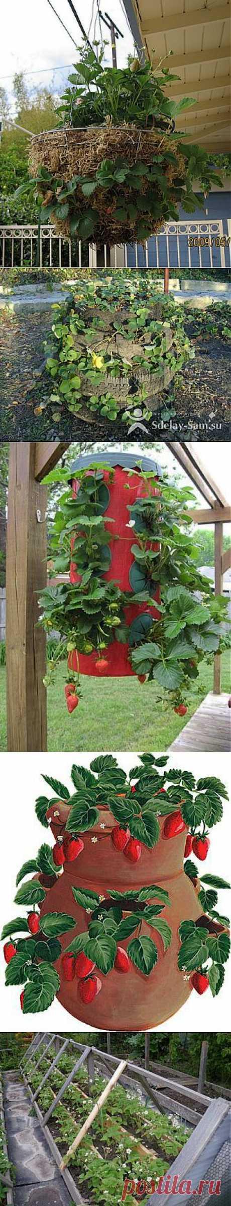 Способы выращивания клубники.