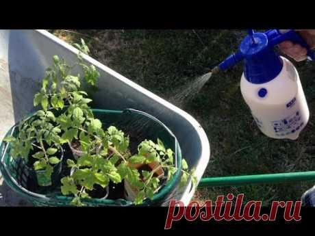188. Мои секреты посадки помидоров в теплицу
