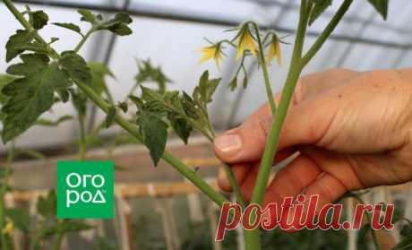 Сколько пасынков можно оставить на помидорах без потери урожая | На грядке (Огород.ru)