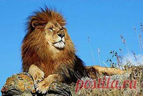 Непобедим не тот, кто силен, а тот, чья победа еще перед схваткой не вызывает сомнений. Именно такую поучительную историю и расскажет вам моя аллегорическая басня в стихах. Прочитав ее, вы не только вкусите плод мудрости, но и узнаете, кто такой земляной лев и сможет ли он победить льва обычного.