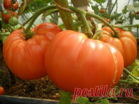 """In total about a pasynkovaniye tomato. The foliage at tomatoes - to delete or not?\"""" Female World"""
