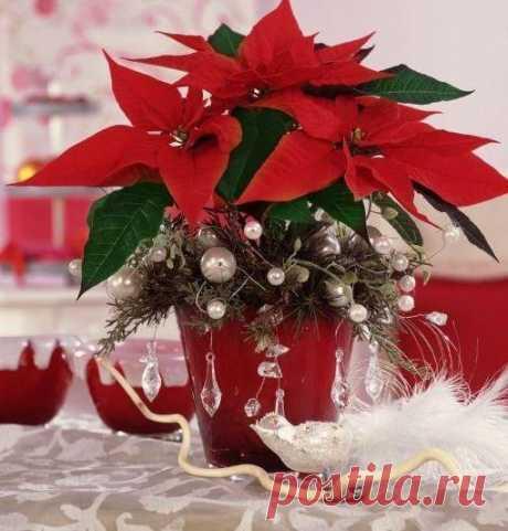 ПУАНСЕТТИЯ - рождественская звезда.