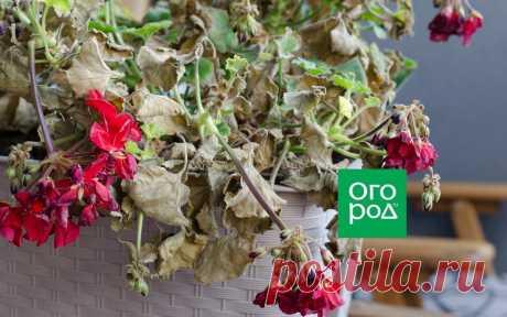 Чем опасно раннее укрытие роз, клематисов и гортензий | Прочие многолетники (Огород.ru)