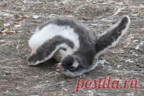 «Первые шаги... комом» Папуанский пингвинёнок в Антарктиде на снимке Станислава Захарова (nat-geo.ru/community/user/215086/).