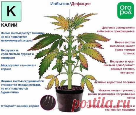 El nitrógeno, el fósforo, el potasio – los indicios de la falta y el exceso cerca de las plantas | los Abonos y los estimuladores (Огород.ru)