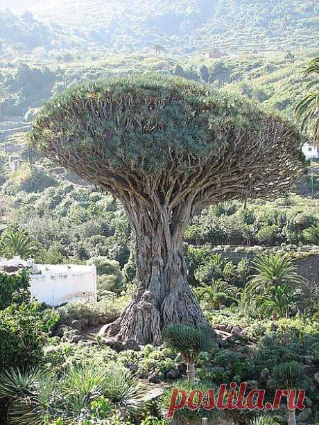 Самое старое дерево на земле | Познай себя!
