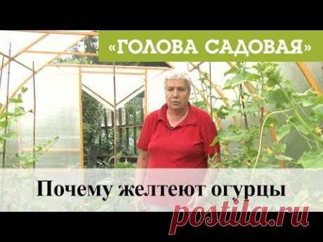 Голова садовая - Почему желтеют огурцы