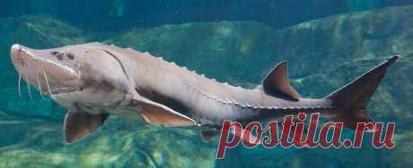 4 метра в длину: куда исчезла белуга — самая большая речная рыба на планете