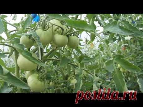 Помидоры, точнее помидоры в теплице, выращивание помидор (или, как в народе говорят, выращивание помидоров) - тема данного ролика. Также в ролике посадка огу...