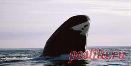 Гренландский кит фото
