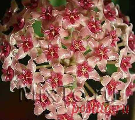 хойя camphorifolia  фото инета.